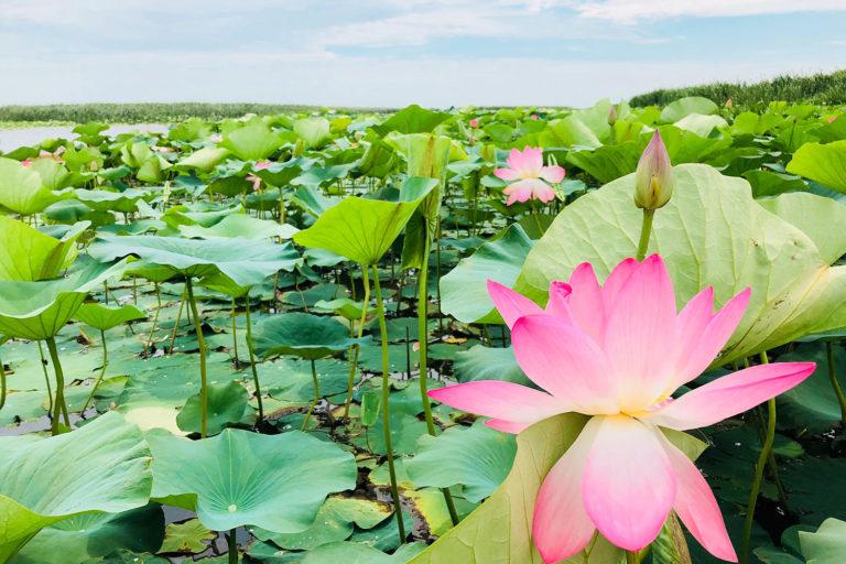 В дельте Волги зацвели лотосовые поля… Не пропустите!