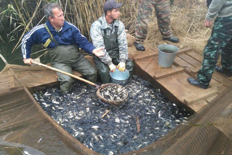 Выпуск молоди сазана в Волгу при участии базы «Рыбоход»